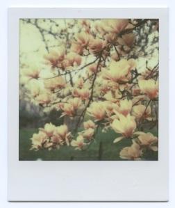 Magnolia 200