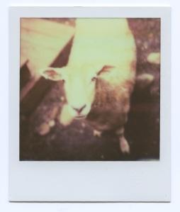 Sheep alone