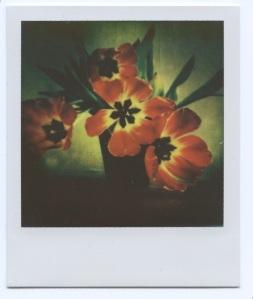 Screaming tulips